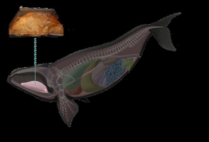 Digital Whale Museum
